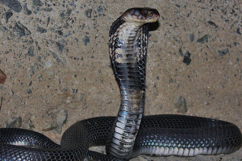 coronavirus timeline chinese cobra snakes